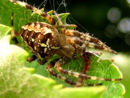 Orb Web Spider 2 by iriscup