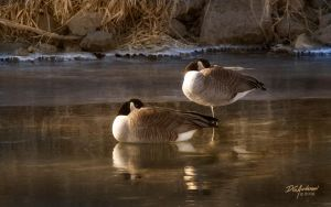 Late sun, clean ice, canada geese by DGAnder