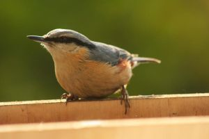 Eurasian Nuthatch... by EricReynolds