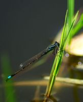 Cyan Dragonfly by rontz