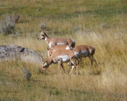 Yellowstone Prong-horn Antelopes by swashbuckler