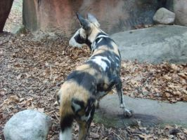 African Wild Dog 2 by Rukia1000