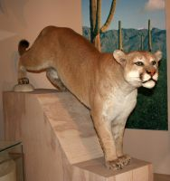 Denver Museum Mountain Lion 210 by Falln-Stock