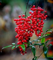 Wet Berries 12-18-10 by Tailgun2009