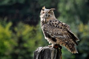 Eagle Owl by Tienna
