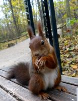 Squirrel 151 by Cundrie-la-Surziere