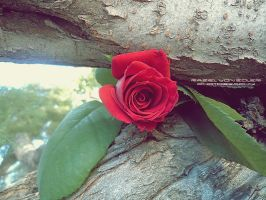 Rose in tree II by RazielMB-PhotoArt