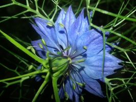 Love In A Mist by BrightStar2