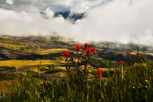 Indian Paint Brush by moss-024
