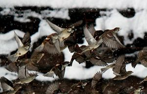 Winter birds in flight.. by sweatangel