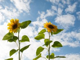 STOCK Sunflowers by Inilein