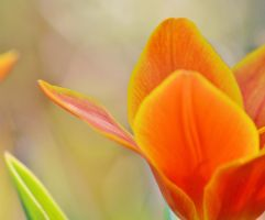 tulip 1 2 by melrissbrook
