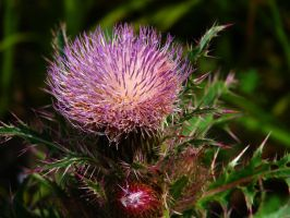 Purple Thistle by Sharondipity
