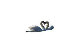 Pre Cut Swans courting png by VIRGOLINEDANCER1