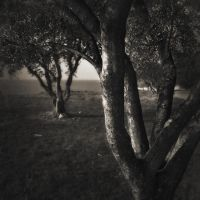 olive trees... by Kaarmen