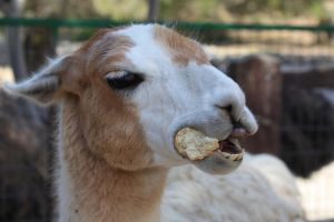 Llama loves bread by WolfyLeives