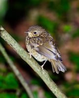 Another Juvenile Robin by AdrianSadlier