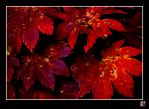 red leaves of fall by tensai-riot