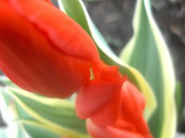 Red tulipe by MellyDesign