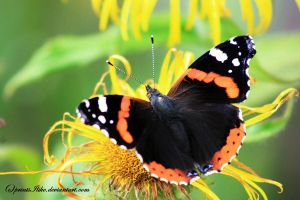 Red Admiral butterfly by printsILike