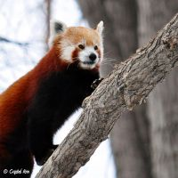 Red Panda 0938 by CrystalAnnPhotos