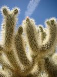 Jumping Cholla by Geotripper
