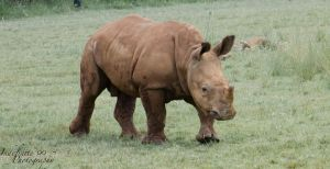Rhino Calf 01 by Indefinitefotography