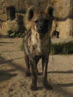 Spotted Hyena 17 by animalphotos