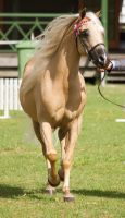STOCK - TotR Arabians 2013-8 by fillyrox