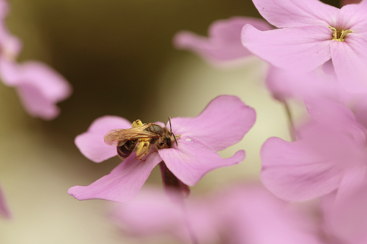 European dark bee, 'Apis mellifera mellifera' by Sehlley