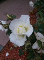one white sindle rose by vienna2000