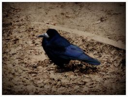 crow. by perpetuummobile