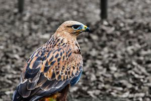 falcon by PhotographyChris