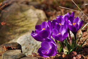 crocuses by Wilithin