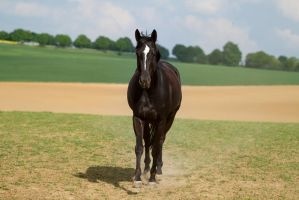 Black Warmblood Mare by LuDa-Stock