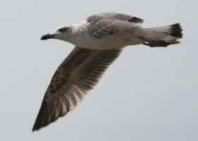Flying Seagull by khoral