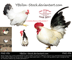 Chickens by YBsilon-Stock