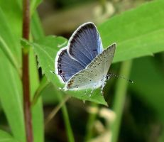 eastern blue tail,pic 2 by Nipntuck3