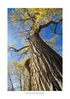 Twisting Cottonwood by yenom