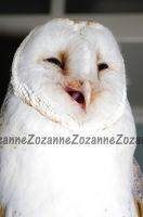 Laughing Owl by Zozanne
