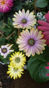 African Daisy by Foxface27