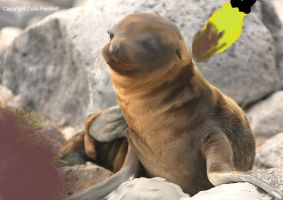 Sea Lion Pup 2 by ColinP by Hermione75