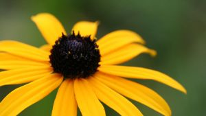 Rudbeckia by evelynzee