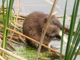 Looks Like Muskrat (Love) by Legrandzilla