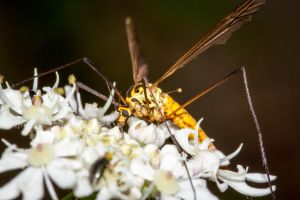 Tiger Crane-fly by AngelsOdyssey