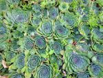 Flock Of Hens And Chicks 8-5-13 by wiccanwitchiepoo