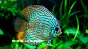 Discus Fish by kirstystutely