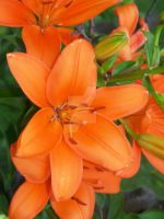 Orange Asiatic Lily 2 by racheltorres921