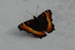 Stock 304 - Butterfly by pink-stock