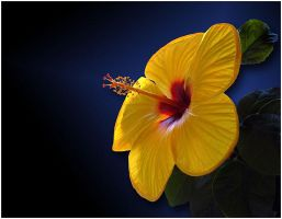 HIBISCUS by THOM-B-FOTO